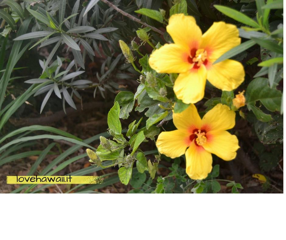 Alberello Dai Fiori Gialli.Ibisco Il Fiore Ufficiale Delle Hawai I Love Hawaii